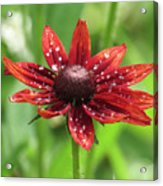 Shower Flower Acrylic Print