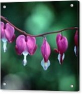 Showy Bleeding Hearts  Acrylic Print