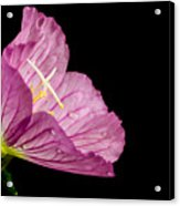 Showy Evening Primrose Acrylic Print