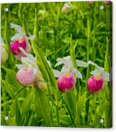 Showy Lady's Slipper Orchids Acrylic Print