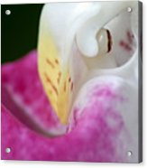 Showy Ladyslipper Up Close And Personal Acrylic Print