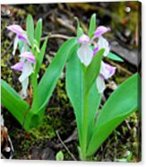 Showy Orchis Acrylic Print