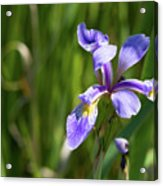 Shreve's Iris Acrylic Print
