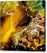 Shrimp Vogue Acrylic Print