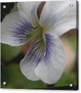 Shrinking Violet Acrylic Print