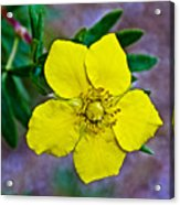 Shrubby Cinquefoil On Iron Creek Trail In Sawtooth National Wilderness Area-idaho  Acrylic Print