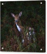 Shy Fallow Deer 4 Acrylic Print