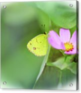 Shy Little Yellow Butterfly Acrylic Print
