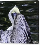 Shy Pelican Acrylic Print