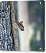 Shy Squirrel Acrylic Print
