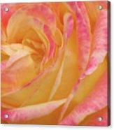 Shy Yellow Rose Acrylic Print