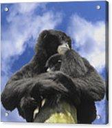 Siamang Gibbon Acrylic Print