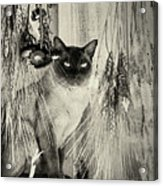 Siamese Cat Posing In Black And White Acrylic Print
