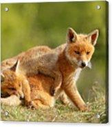 Sibbling Love - Playing Fox Cubs Acrylic Print