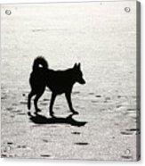 Siberian Husky 6 Acrylic Print