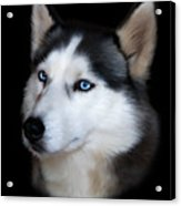 Siberian Husky Dog Acrylic Print by Julie L Hoddinott