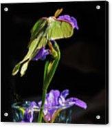 Siberian Iris And Luna Moth Acrylic Print
