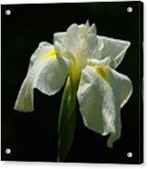 Siberian Iris Acrylic Print