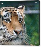 Siberian Tiger 2 Acrylic Print