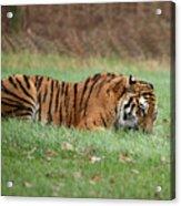 Siberian Tiger Checking Scent Acrylic Print