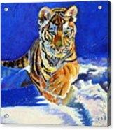 Siberian Tiger Cub Acrylic Print