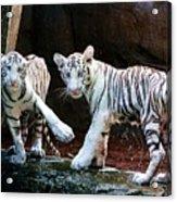 Siberian Tiger Cubs Acrylic Print