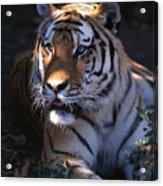 Siberian Tiger Executive Portrait Acrylic Print