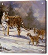 Siberian Tiger Family Acrylic Print