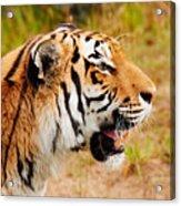 Siberian Tiger In Profile Acrylic Print
