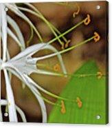 Side View Of Cahaba Lily In Huntington Botanical Gardens In San Marino-california  Acrylic Print