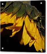 Sideview Sunflower Acrylic Print