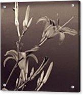 Sidewalk Lilies Sepia Square Format  Acrylic Print