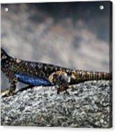 Sierra Fence Lizard 2 - Sierra Acrylic Print