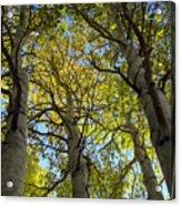 Sierra Nevada Aspen Fall Color Acrylic Print
