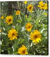 Sierra Wildflowers Acrylic Print