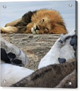 Siesta Time For Lions In Africa Acrylic Print