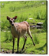Sika Deer Water Hole Omagh Acrylic Print