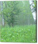 Silent Birch Acrylic Print
