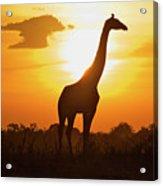 Silhouette Giraffe At Sunset Acrylic Print by Joost Notten