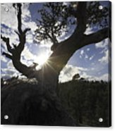 Silhouette Of A Gnarled Tree Acrylic Print