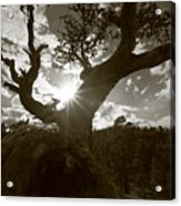 Silhouette Of A Gnarled Tree - Sepia Acrylic Print