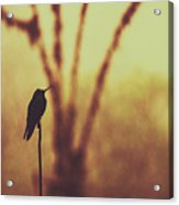 Silhouette Of A Hummingbird Against Golden Background, Mindo, Ecuador Acrylic Print