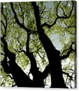 Silhouette Of A Tree Trunk With New Growth In Springtime Acrylic Print