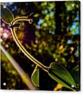 Silhouette Of Climbing Vine On A Sunny Afternoon Acrylic Print