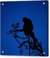 Silhouetted Proboscis Monkey Nasalis Acrylic Print
