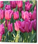 Silky Pink Tulips Acrylic Print