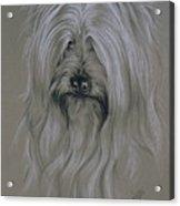 Silky Terrier Acrylic Print