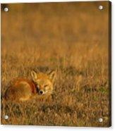 Silly Fox Acrylic Print