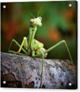 Silly Mantis Acrylic Print by Karen M Scovill