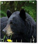 Silly Ole Bear Acrylic Print